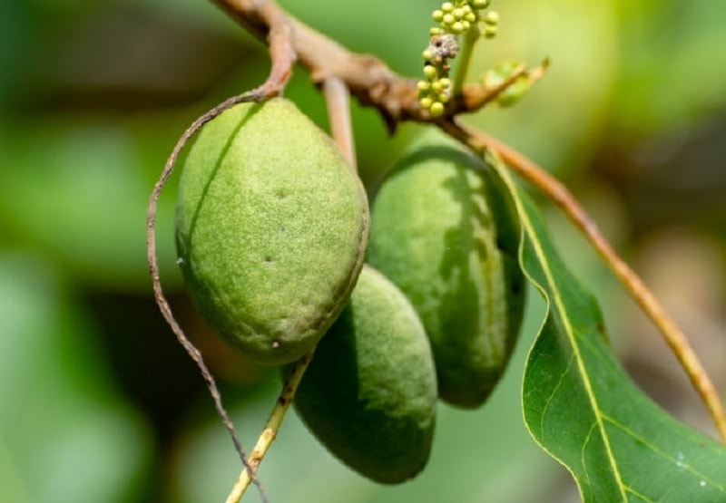 ترکیبات شیمیایی درخت لوز