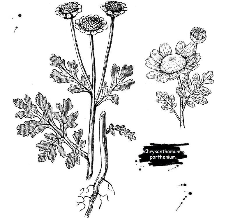 گیاه بابونه کبیر از تیره کاسنی