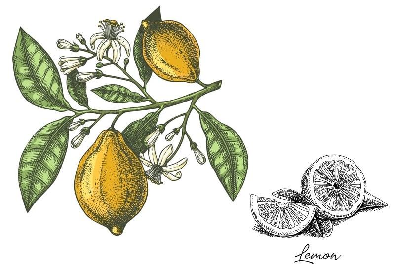 درخت لیموترش از تیره نارنج