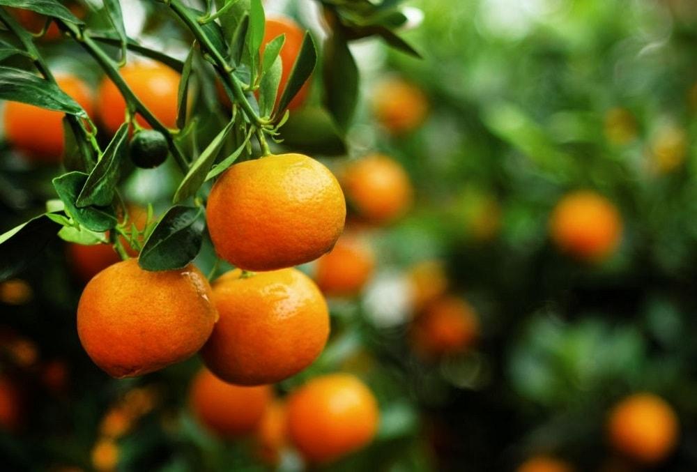 درخت نارنگی