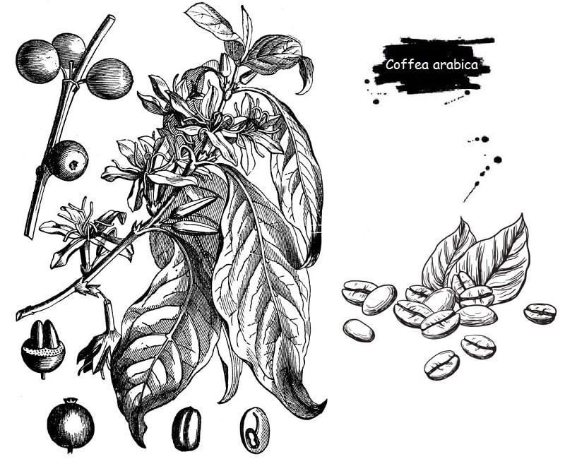 درخت قهوه از تیره روناس