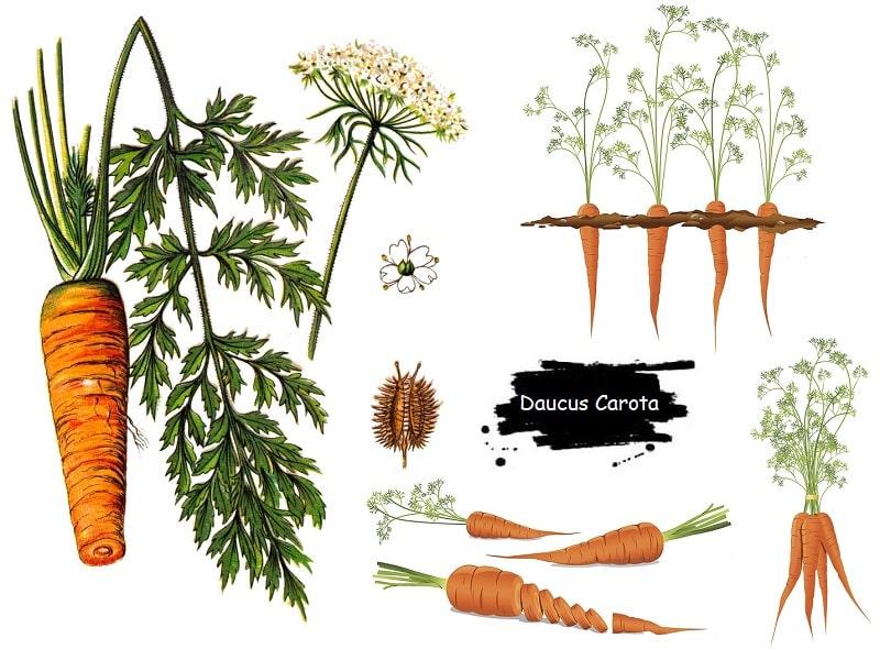 گیاه هویج از تیره جعفری