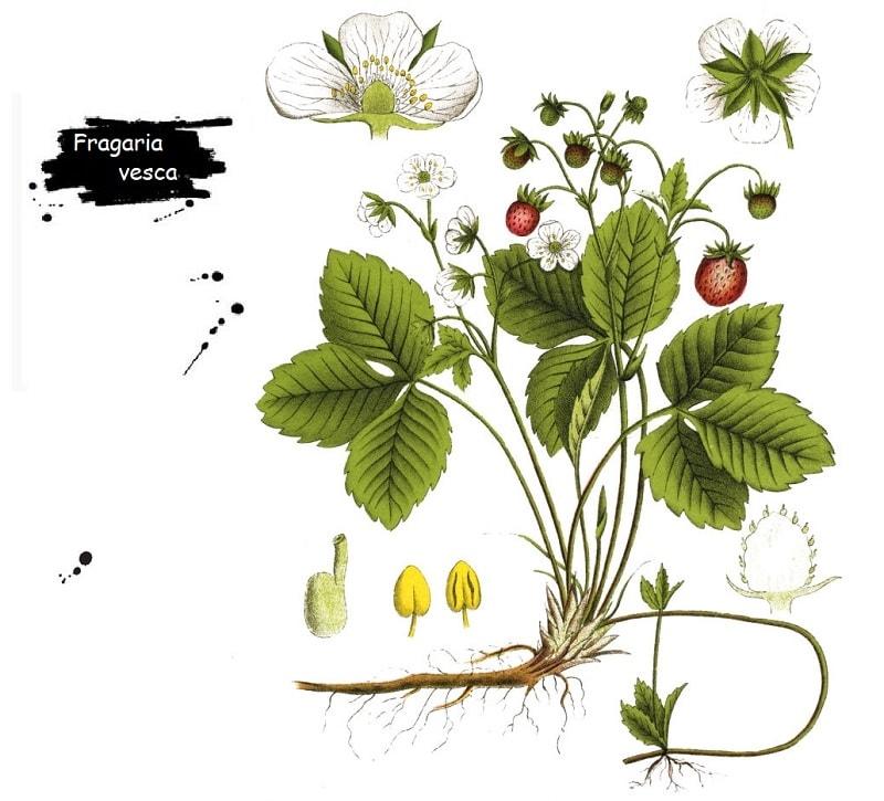 گیاه توت فرنگی از تیره گل سرخ