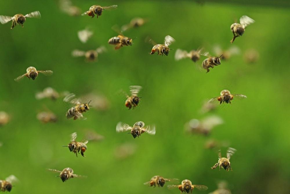 شناسایی باغات توسط زنبور ها
