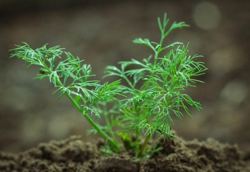 زمان مناسب کاشت گیاه رازیانه