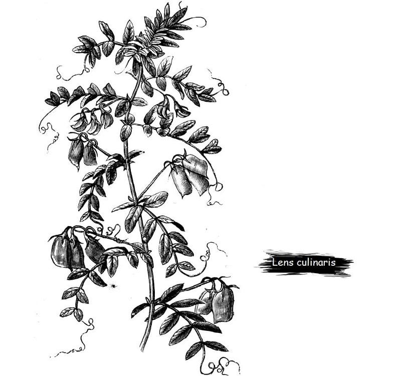 گیاه عدس از تیره پروانه واران