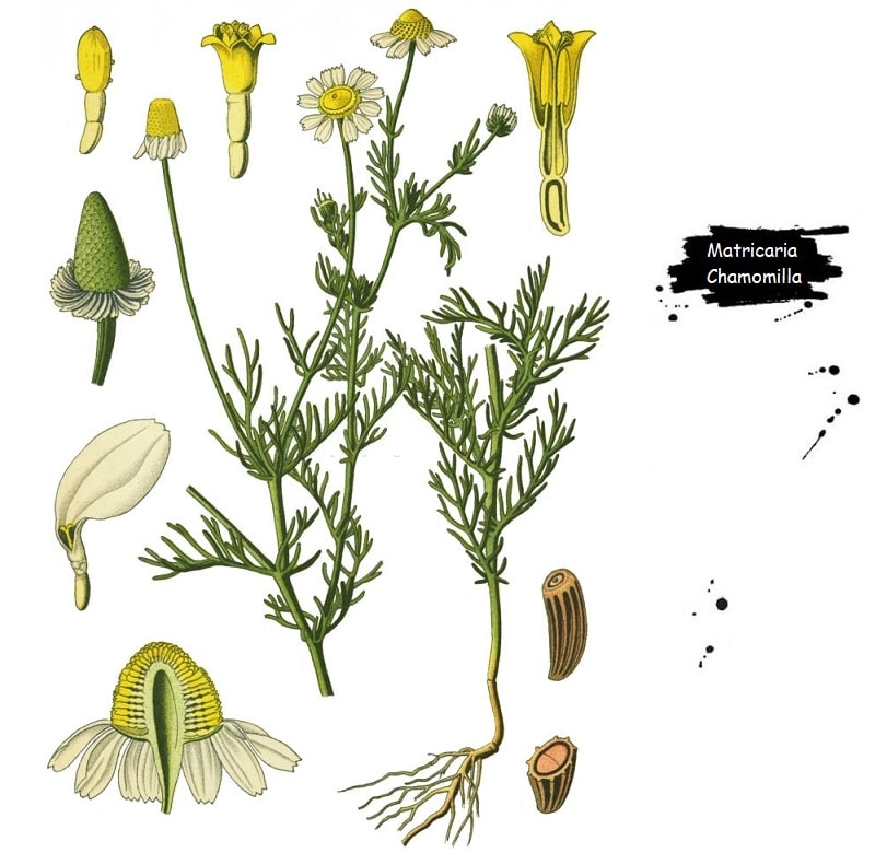 گیاه بابونه از تیره کاسنی
