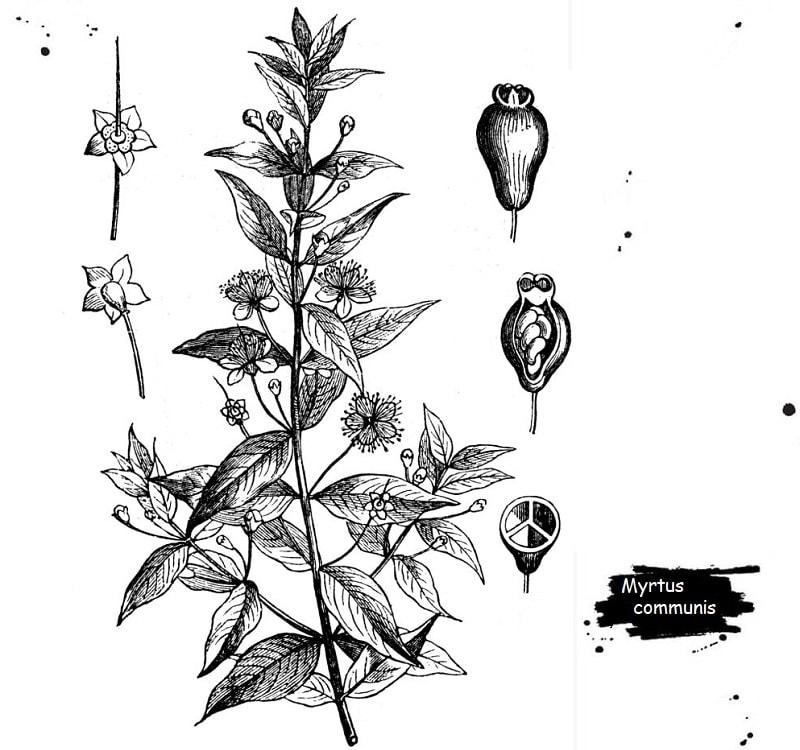 گیاه مورد از تیره مورد