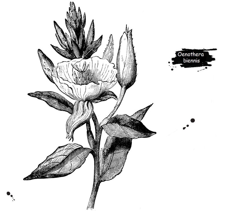 گل مغربی از تیره اوناگراسه