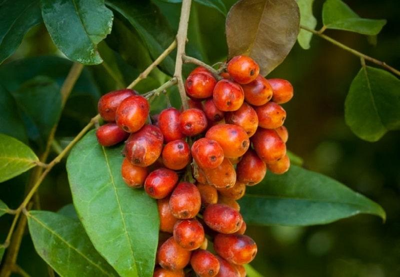 Picramnia pentandra گونه ای از گیاهان تیره عرعر