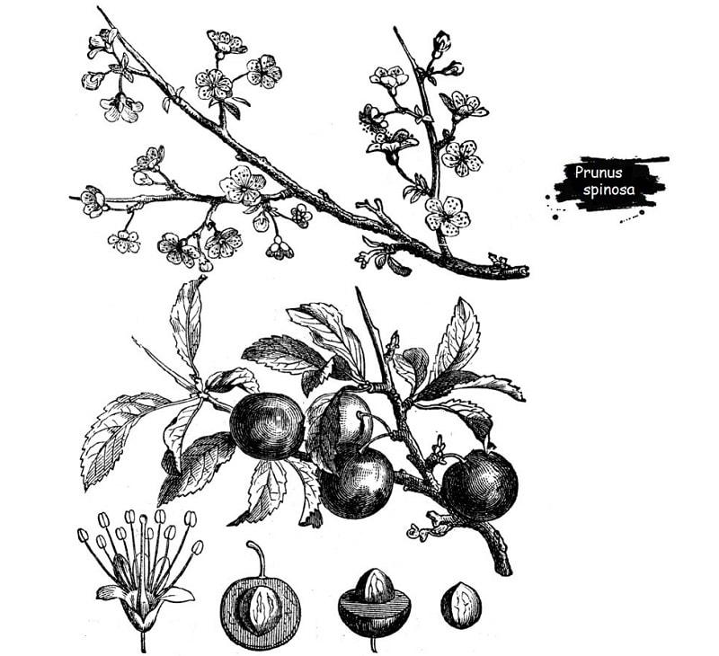 گوجه وحشی از تیره گل سرخ