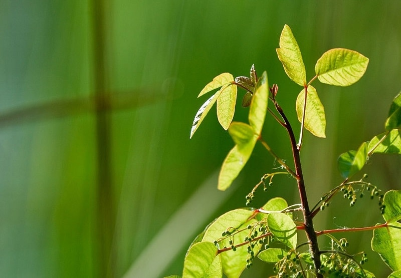 Rhus Toxicodendron - گیاهی از انواع سمی درخت سماق