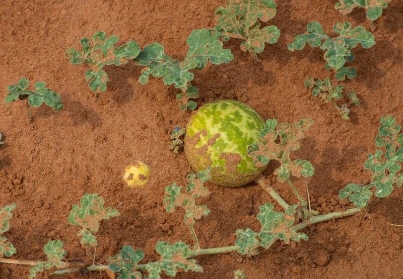 عوارض جانبی، موارد احتیاط و منع مصرف هندوانه ابوجهل