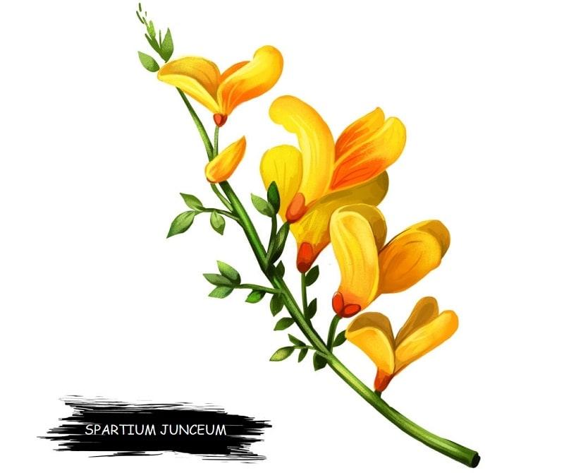 گل طاووسی از تیره پروانه واران