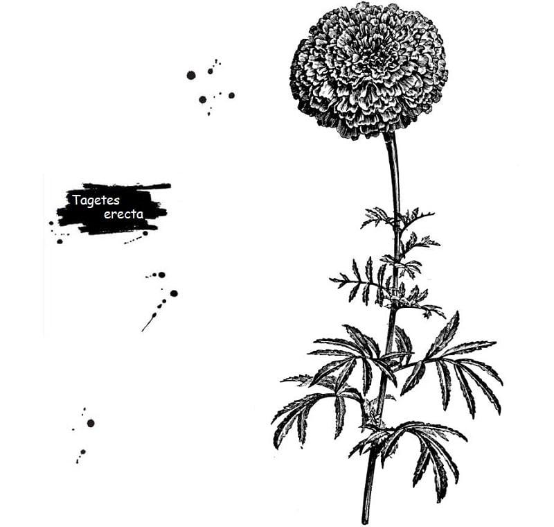 خواص درمانی گل جعفری