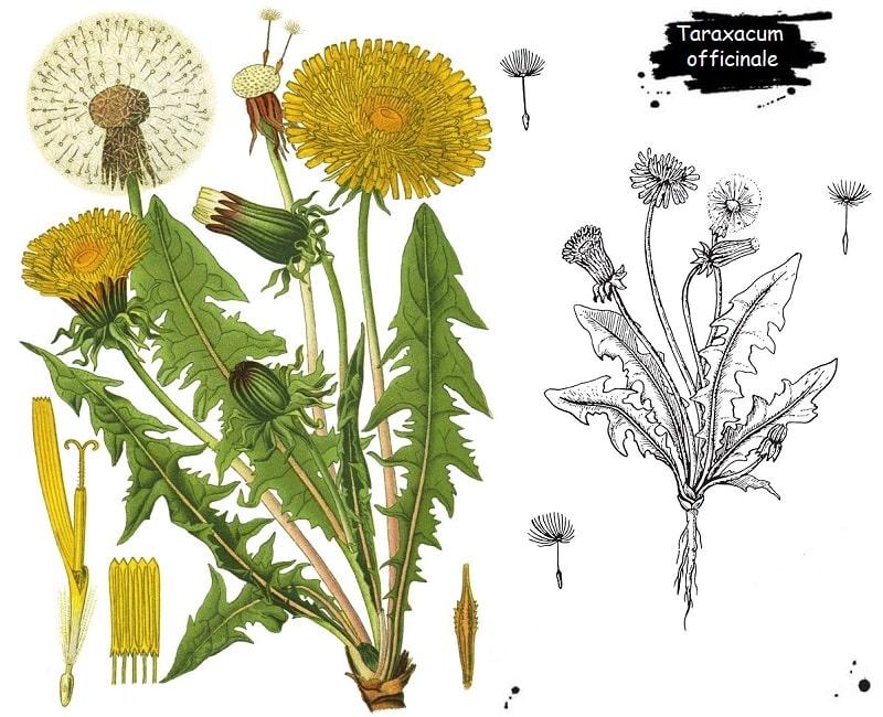 گیاه گل قاصد از تیره کاسنی