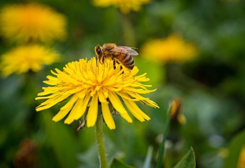گل قاصد در ردیف گیاهان مهم تولید عسل
