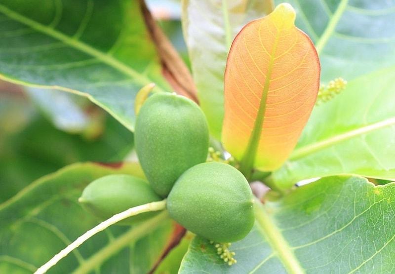 میوه درخت لوز یا کاشو یکی از آجیل های محبوب