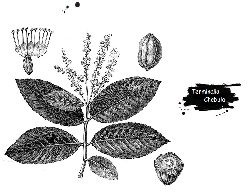 هلیله کابلی از تیره بادام هندی