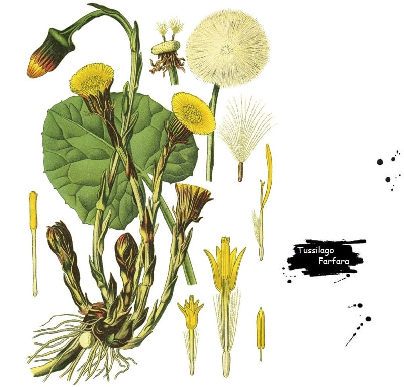 گیاه پای خر از تیره کاسنی