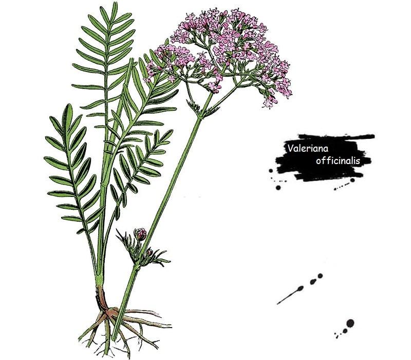 گیاه سنبل الطیب از تیره سنبل الطیب