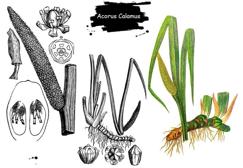 گیاه اگیرترکی از تیره گل شیپوری