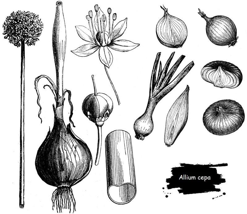 گیاه پیاز از تیره لاله