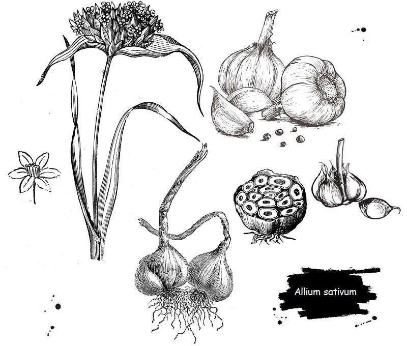 گیاه سیر از تیره لاله