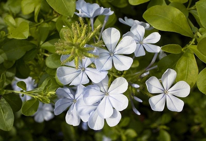 تانگینین در ترکیبات گیاهان تیره خرزهره