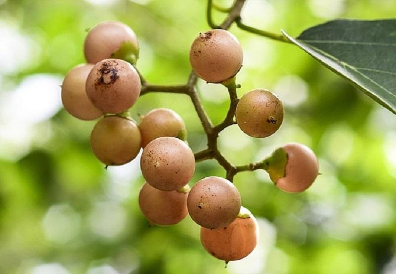 Cordia obliqua گونه ای از گیاه سپستان
