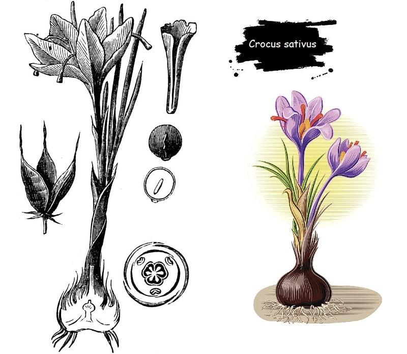 گیاه زعفران از تیره زنبق در گیاه شناسی زعفران