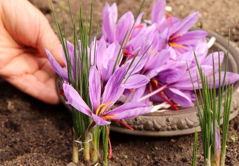گیاه شناسی زعفران - تقسیمات خامه در زعفران ها