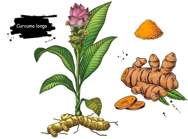 گیاه زردچوبه از تیره زنجبیل