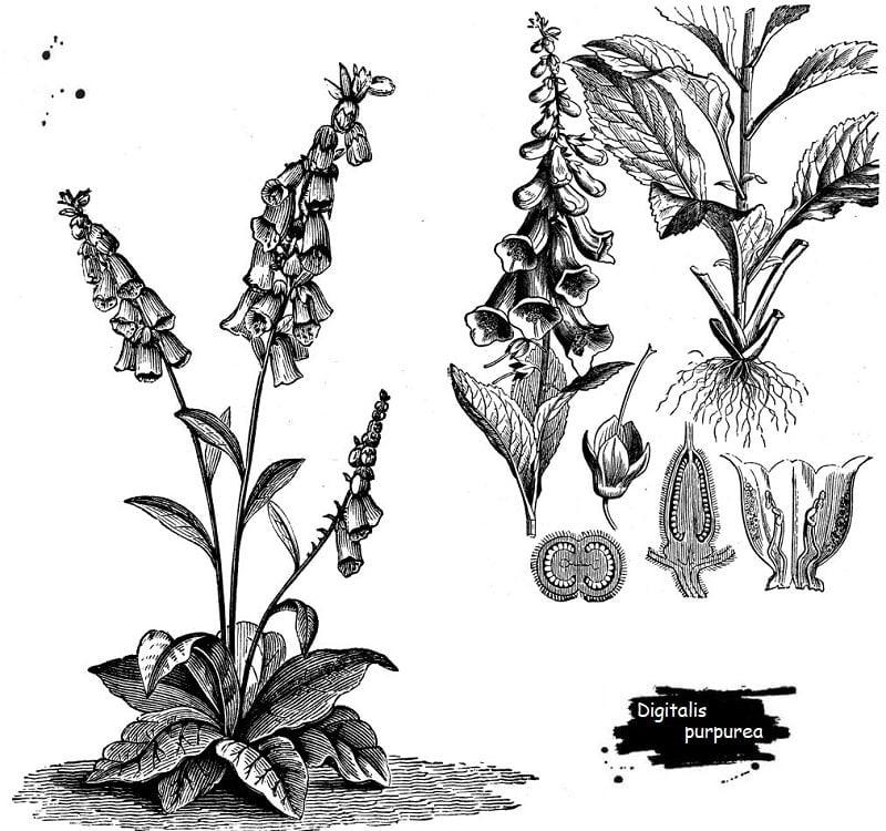 گیاه گل انگشتانه از تیره گل میمون