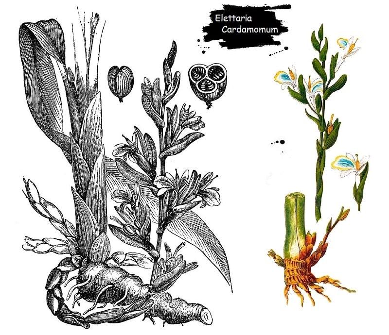 گیاه هل از تیره زنجبیل