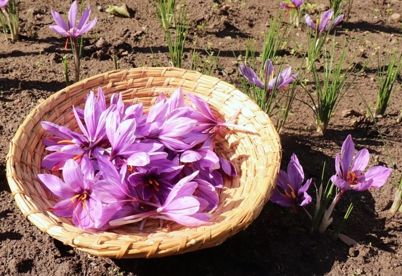 ویژگی های ژنتیکی و به نژادی زعفران - گیاه شناسی زعفران