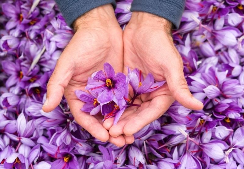 نظریه های ارائه شده در رابطه با زعفران در بحث گیاه شناسی زعفران