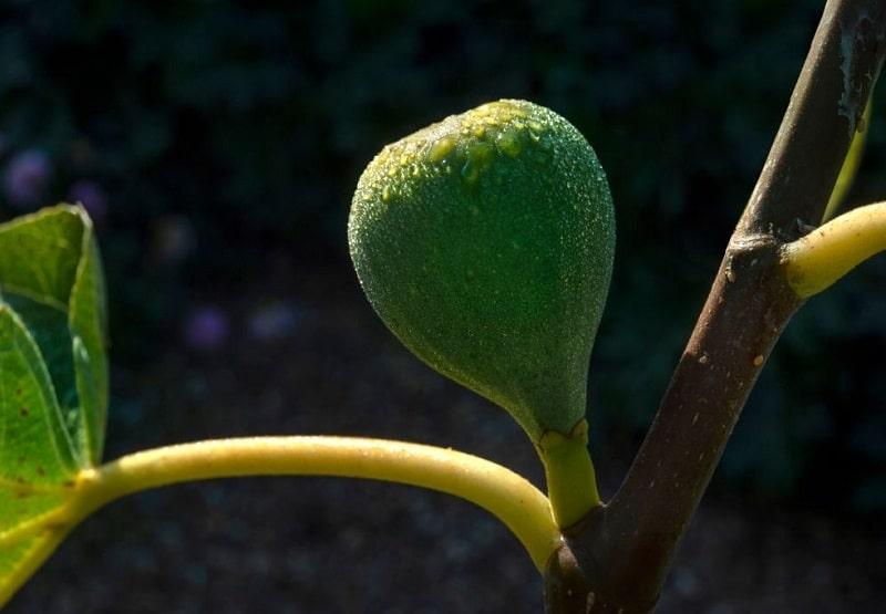 نحوه استفاده از شاخه درخت انجیر