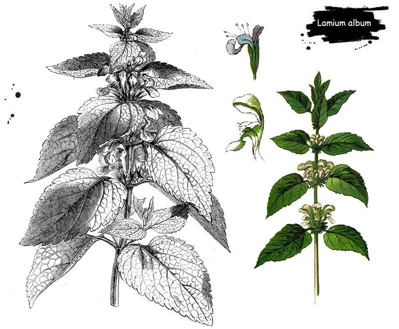 گیاه گزنه سفید از تیره نعناع