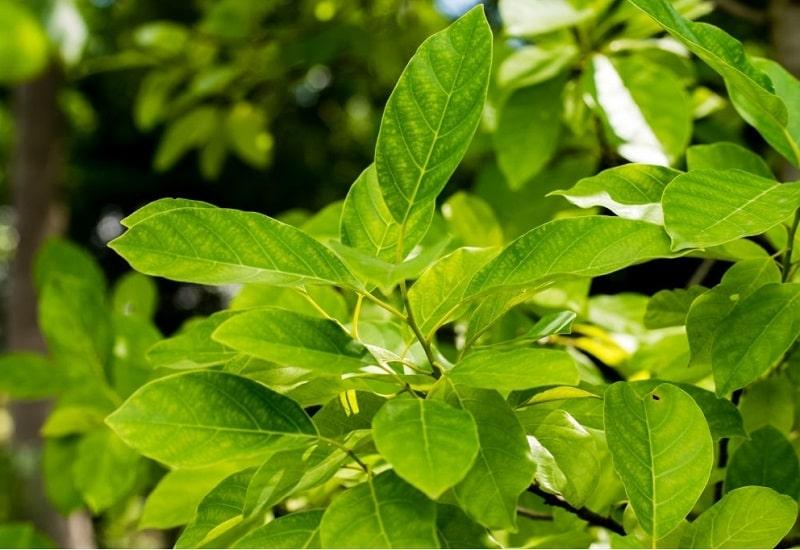 مشخصات گیاهان تیره برگ بو
