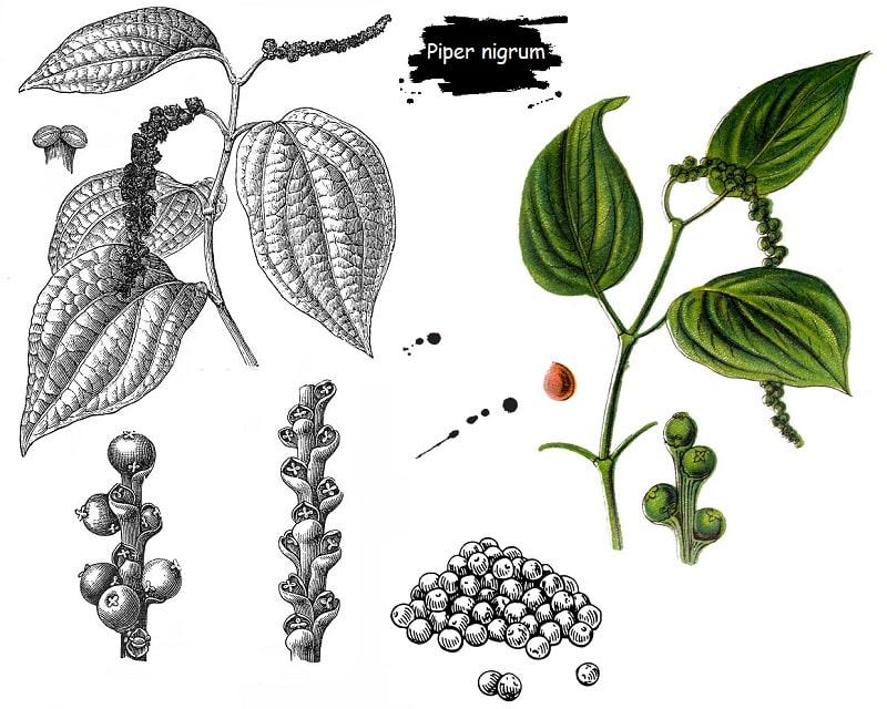 گیاه فلفل سیاه از تیره پی په راسه