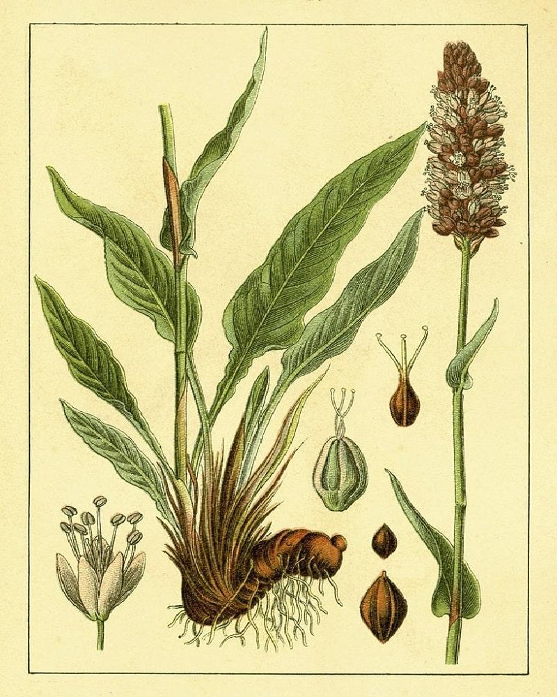 گیاه انجبار از تیره علف هفت بند