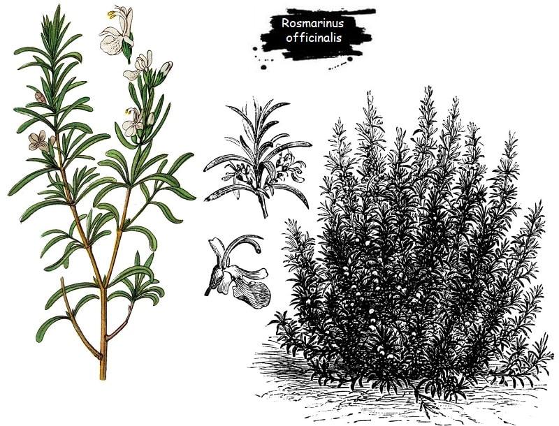 گیاه رزماری از تیره نعناع