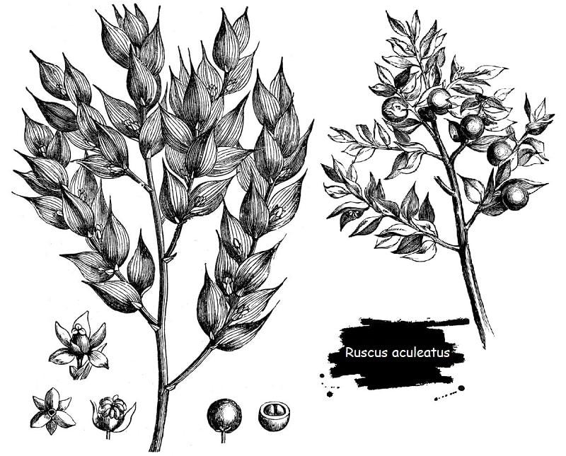 گیاه کوله خاس از تیره مارچوبه