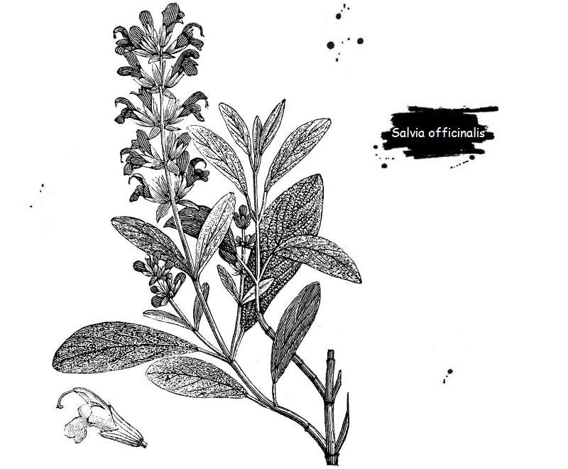 گیاه مریم گلی از تیره نعناع
