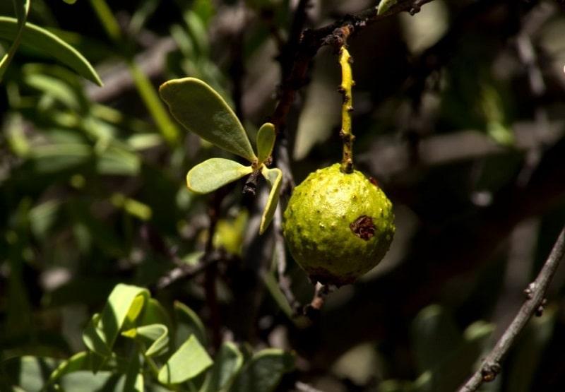 مشخصات گیاهان تیره سانتالاسه