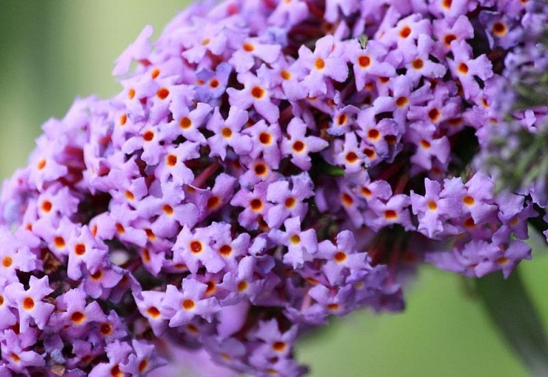 اختصاصات گیاهان تیره گل میمون