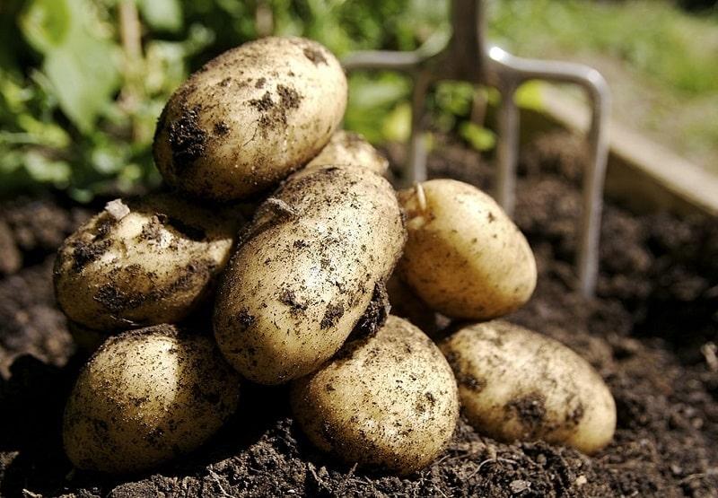 استفاده خوراکی و دارویی از گیاهان تیره سیب زمینی