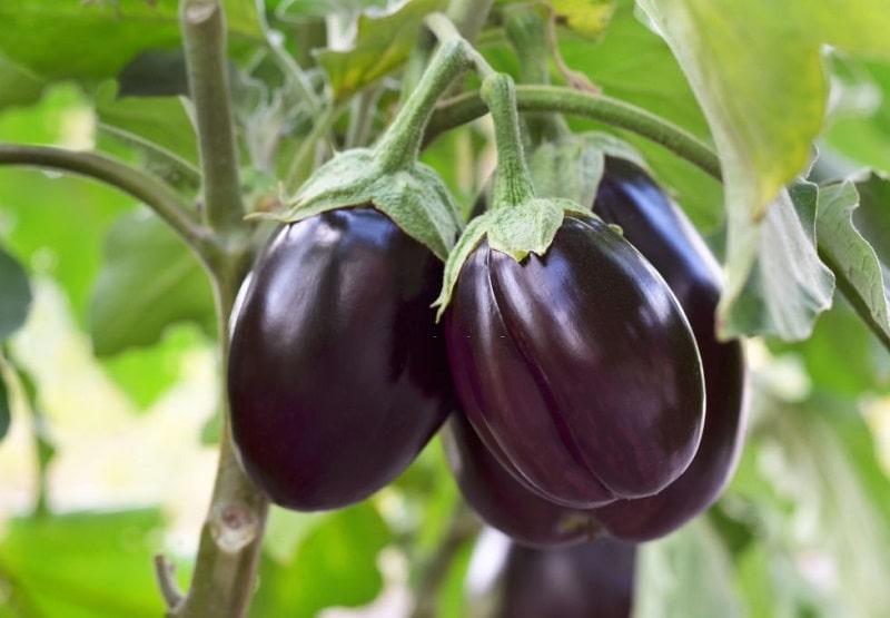 مشخصات گیاهان تیره سیب زمینی