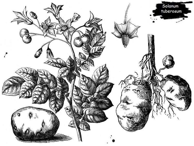 گیاه سیب زمینی از تیره سیب زمینی
